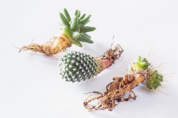 Understanding the Cactus Root Systems: 4 Types of Cactus Roots 1