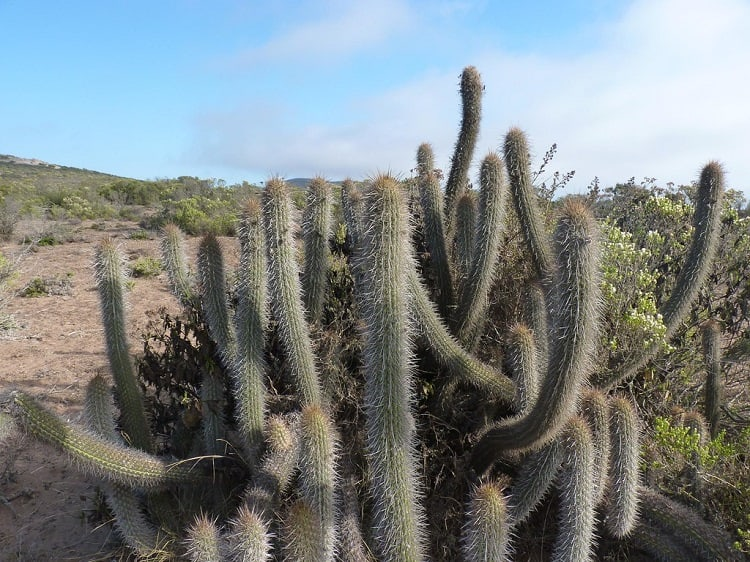can a cactus survive winter