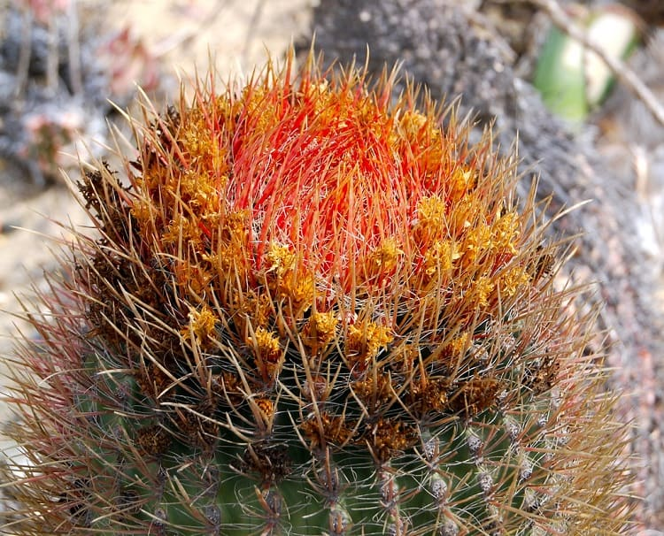 can cactus survive in cold weather