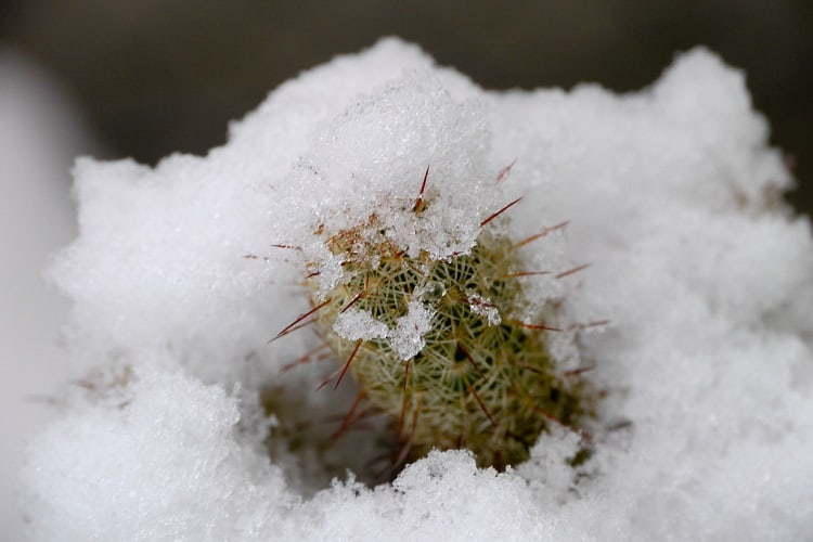caring for outdoor cactus in winter