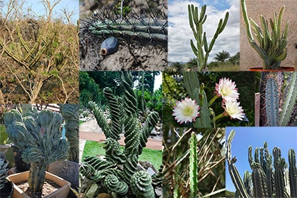11 Cereus Cactus Types: How to Care for Cereus Cactus