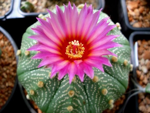 different kinds of cacti with pink flowers