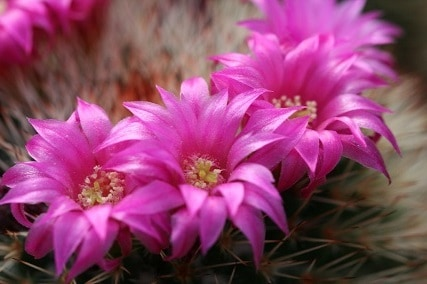5 Different Kinds of Cacti with Pink Flowers 1