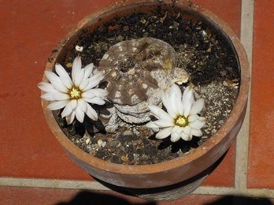 do cactus grow flowers