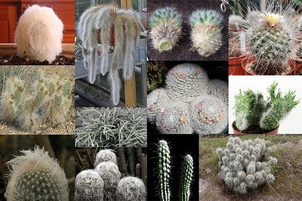 12 Little-known Hairy Cactus Types