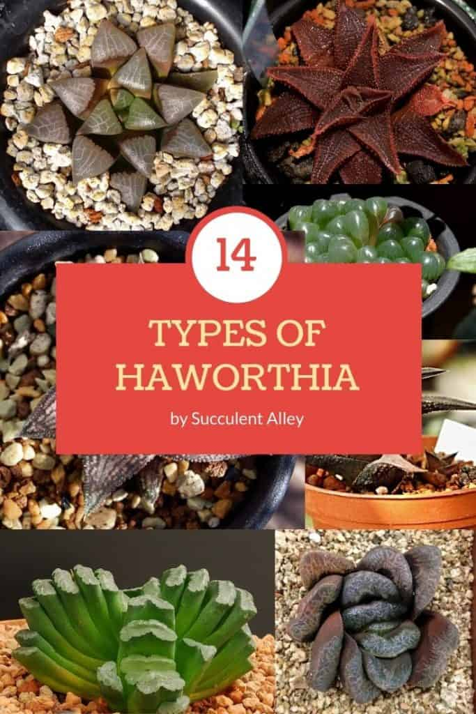 14 Haworthia Types Care And Propagation Succulent Alley