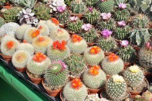 How do Cacti Reproduce?