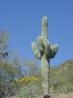 how do cactus adapt to the desert