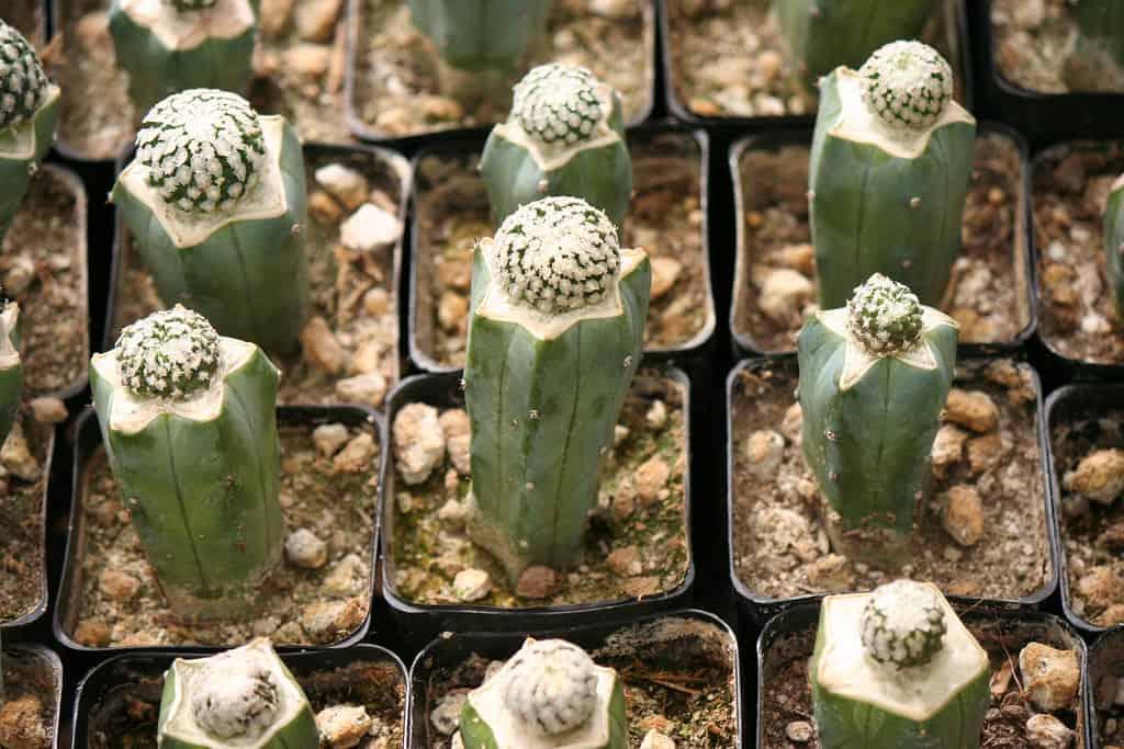 how to graft a cactus