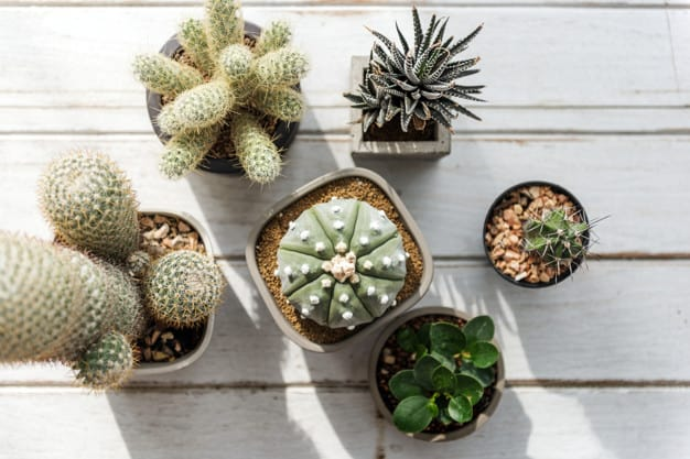 how to care for cactus indoors