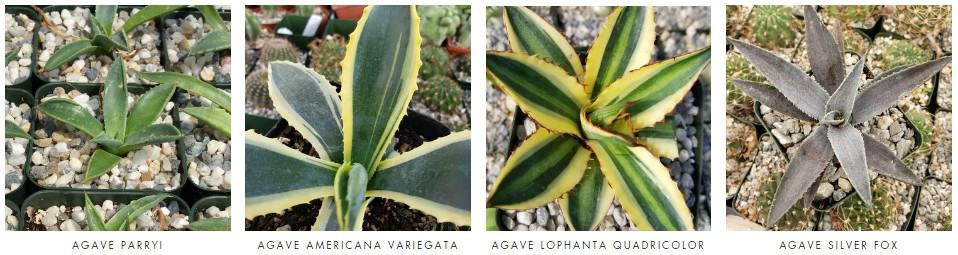agave plants for sale