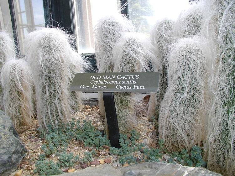 old man cactus adaptations