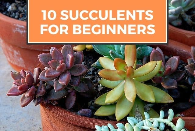 best succulents for beginners
