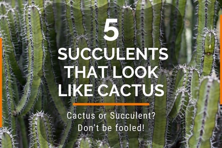 succulents that look like cactus