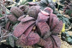 8 Rare Types of Gasteria Succulents