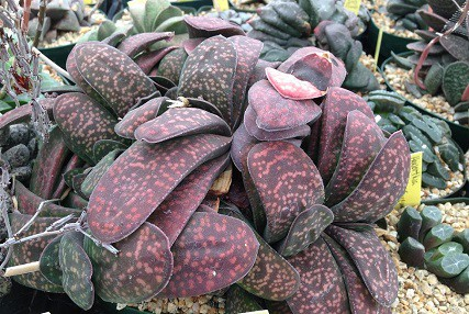 types of gasteria succulents