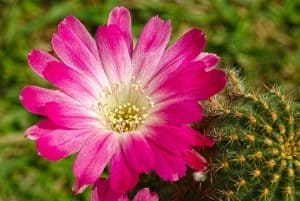 When do Cacti Bloom – 5 Interesting Facts about Cactus Flowers
