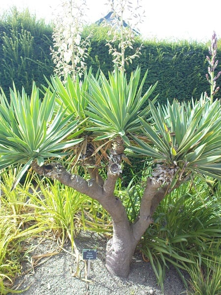 yucca vs agave