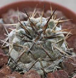 1,000 Types of Cactuses with Pictures [Cactus Identification Cheat Sheet] 59