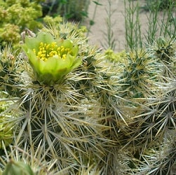 1,000 Types of Cactuses with Pictures [Cactus Identification Cheat Sheet] 69