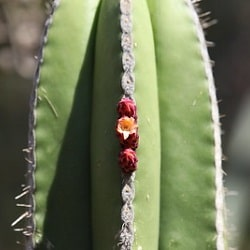 1,000 Types of Cactuses with Pictures [Cactus Identification Cheat Sheet] 195