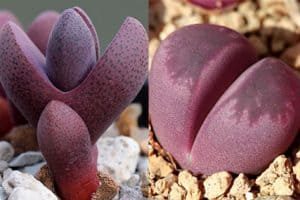 Pleiospilos vs Lithops: Spot the Differences