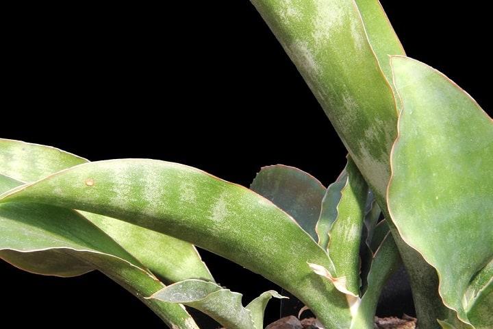 sansevieria varieties identification