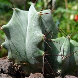 1,000 Types of Cactuses with Pictures [Cactus Identification Cheat Sheet] 249