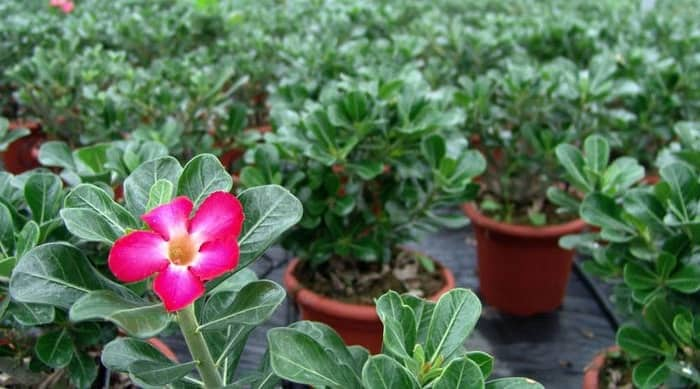 desert rose care