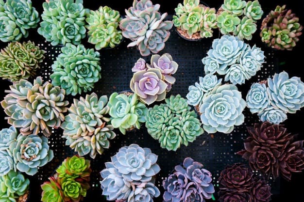 best place to buy succulents online
