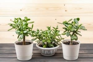 Best Pot for Jade Plants