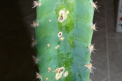 Brown Spots on Cactus Plant: Causes and Remedies