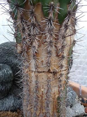 cactus corking