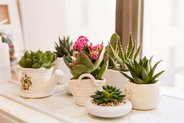 can succulents live indoors