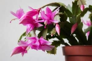 Christmas Cactus Fertilizing Guide