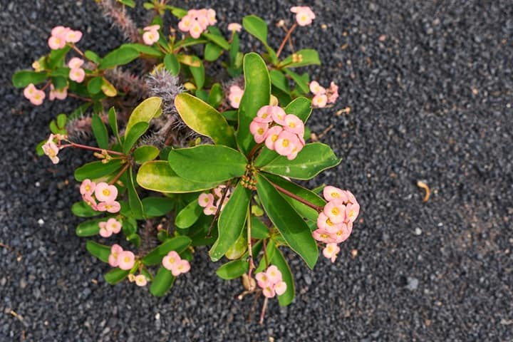 crown of thorns plant leaves turning yellow