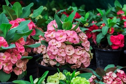 Growing Crown of Thorns Plant Outdoors: 5 Useful Tips