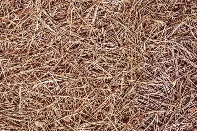 can pine needles be used as mulch