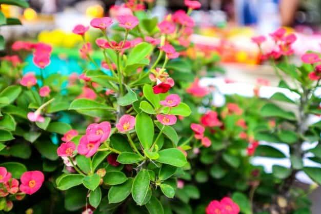 growing euphorbia milii outdoors