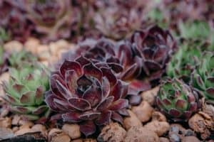 Hens and Chicks Plant Care: Tips for the Winter Hardy Sempervivum