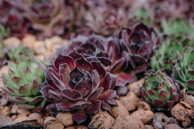 hens and chicks plant care winter hardy