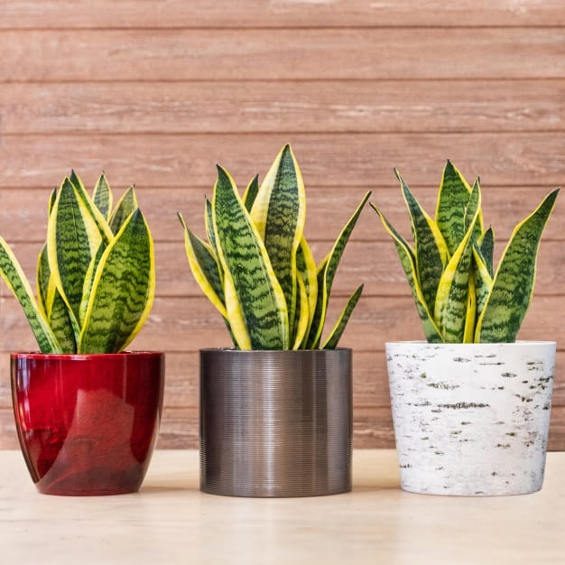 how to care for snake plants