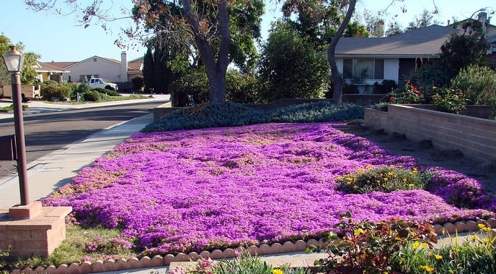 ice plant care in winter