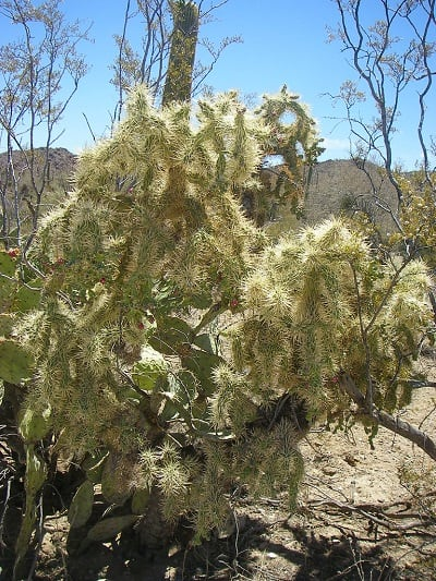 Jumping Cholla TRUTH : The Cactus that Shoots Needles? 2
