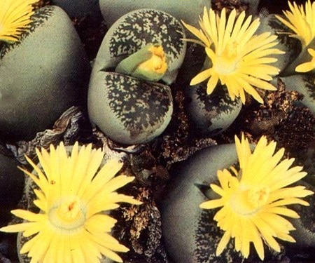 Lithops Life Cycle, Characteristics and Care 1