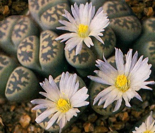 Lithops Life Cycle, Characteristics and Care 4