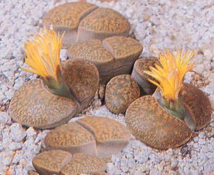 Lithops Life Cycle, Characteristics and Care 2
