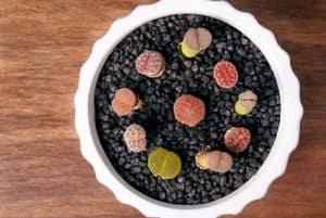 Lithops Life Cycle, Characteristics and Care