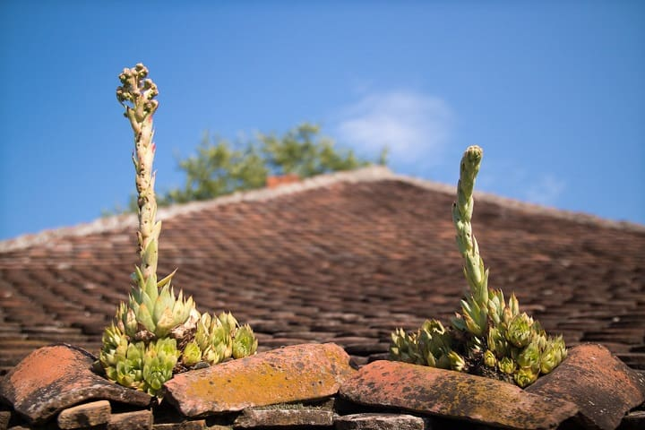 Hens and Chicks Plant Care: Tips for the Winter Hardy Sempervivum 1