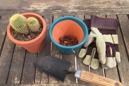 Transplanting Cactuses: How and When to Do It